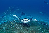 Mantas Addu Atoll