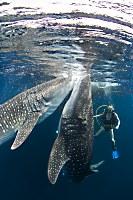 Walhaie und Taucher