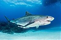 Tigerhai auf den Bahamas