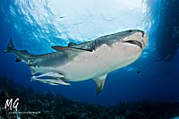 Tigerhaie auf den Bahamas