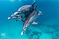 Delphine vor Bimini