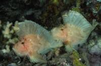 Schaukelfische