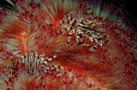 Zebrakrabben auf Feuerseeigel