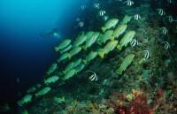 Süßlippen und Wimpelfische
