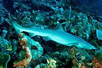 Weißspitzenriffhai
