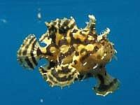 Sargasso-Anglerfisch