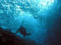 Taucher und Makrelenschwarm