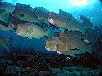Schwarm Büffelkopfpapageienfische