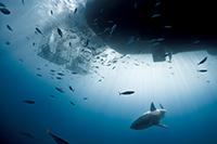 Weißer Hai unter der Solmar V