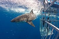 Weißer Hai bei Tauchern im Käfig