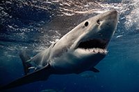 Weißer Hai bei Guadalupe / Mexiko
