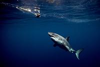 Weißer Hai und Bait vor Guadalupe