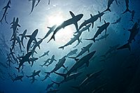 Seidenhaie bei Roca Partida / Socorro / Mexiko